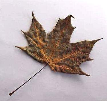 Brown Autumn Leaf